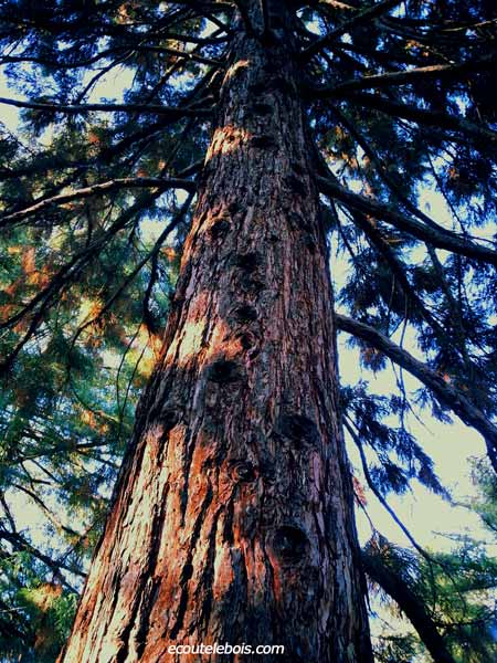 sylvotherapie coniferes ecoutelebois