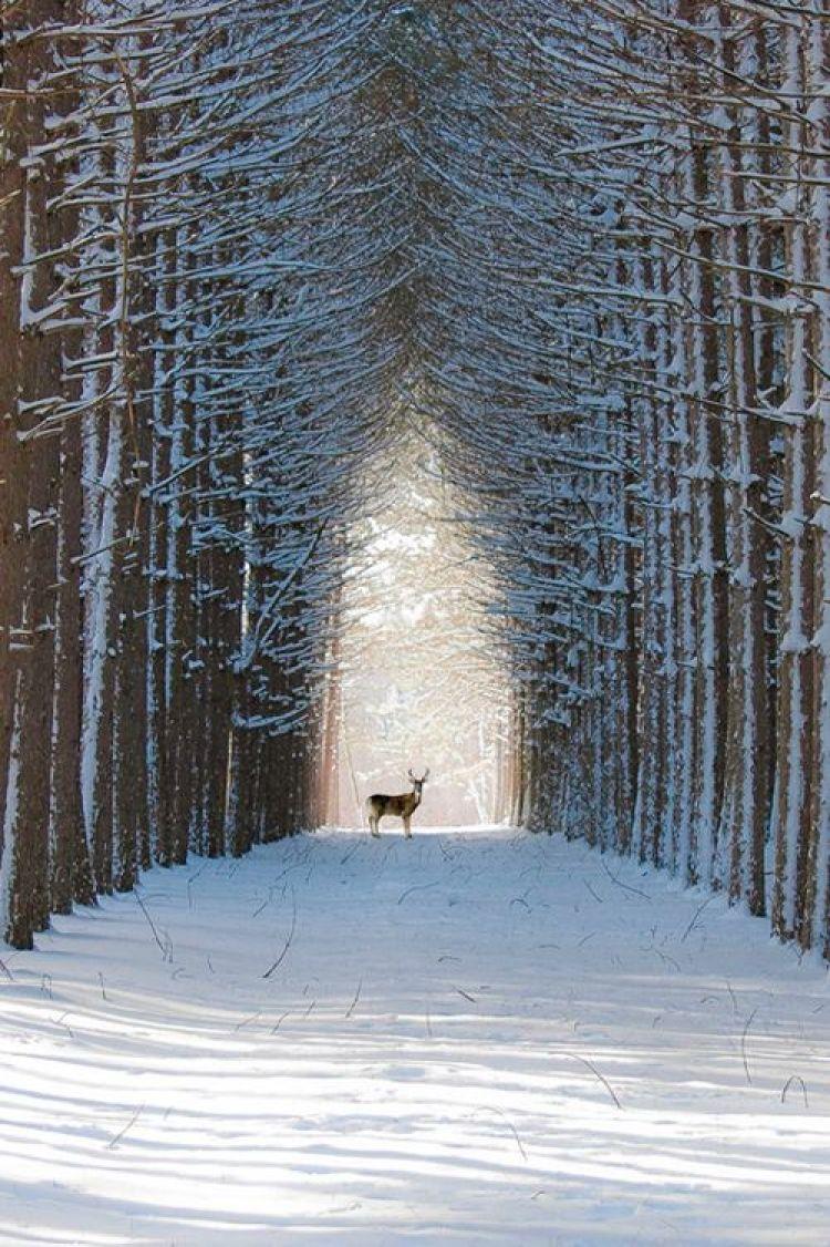 Deer in The Winter Woods Street