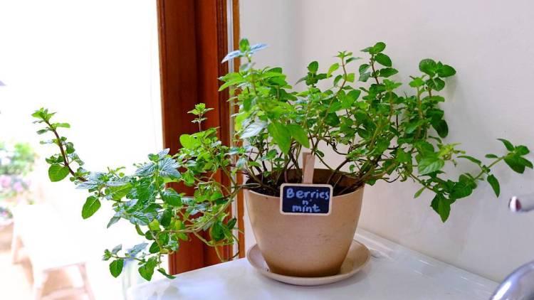 A Taste of Morning #morning #goodmorning #newday #herbsgarden #herbs #mint #mints