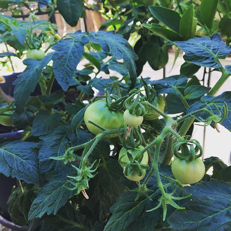 My little kitchen garden #greenliving #smallspace #herbsgarden #tomatoes #melbmoment