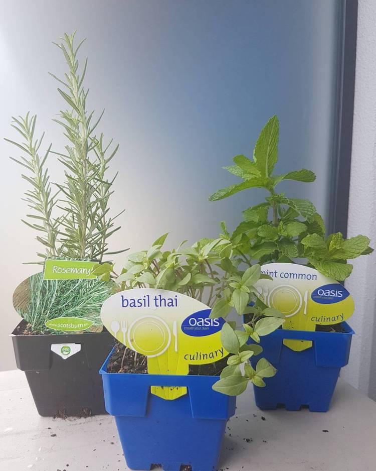 #herbsplants #herbs #herbsgarden #greens #garden #littlegarden #outdoor #rosemary #mint #basil #melbournecbd #soeirahouse
