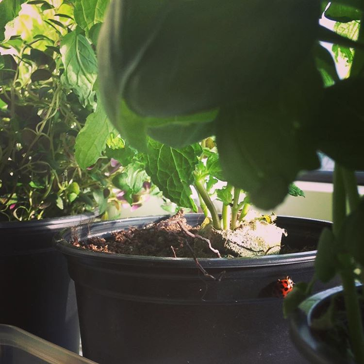 #ladybug #insidegarden #herbsgarden #home