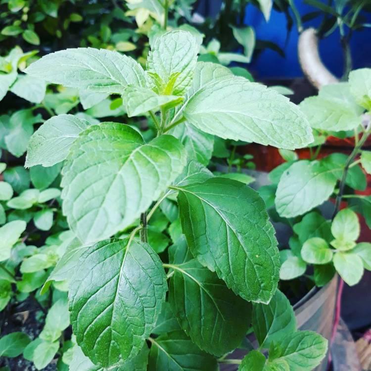 #mintplant in my #herbsgarden #growingwell