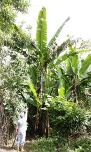 Charles showing us a head of bananas that's almost ripe (Notice how tall that banana tree is!). Right next to him is our cacao (cocoa) tree. It's growing just beautifully!