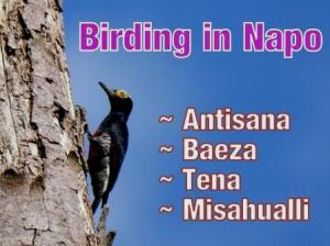 The Napo eBird Field Checklist: Best Birdwatching Experience in Ecuador