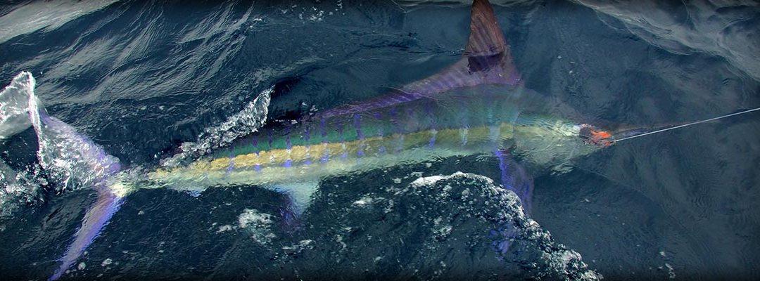 striped marlin description 01