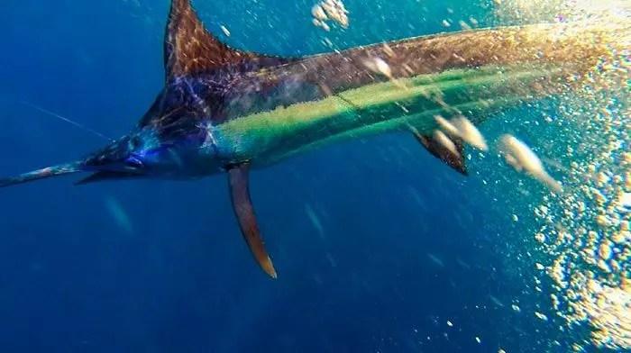 2016 – Ecuagringo Marlin Report September 27 – October 9