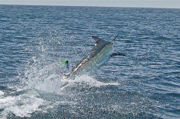 promotion 20180902 marlin tuna wahoo swordfish ecuador galapagos manta 02