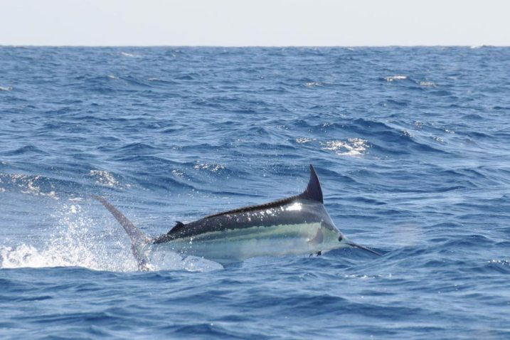 promotion 20180902 marlin tuna wahoo swordfish ecuador galapagos manta 04