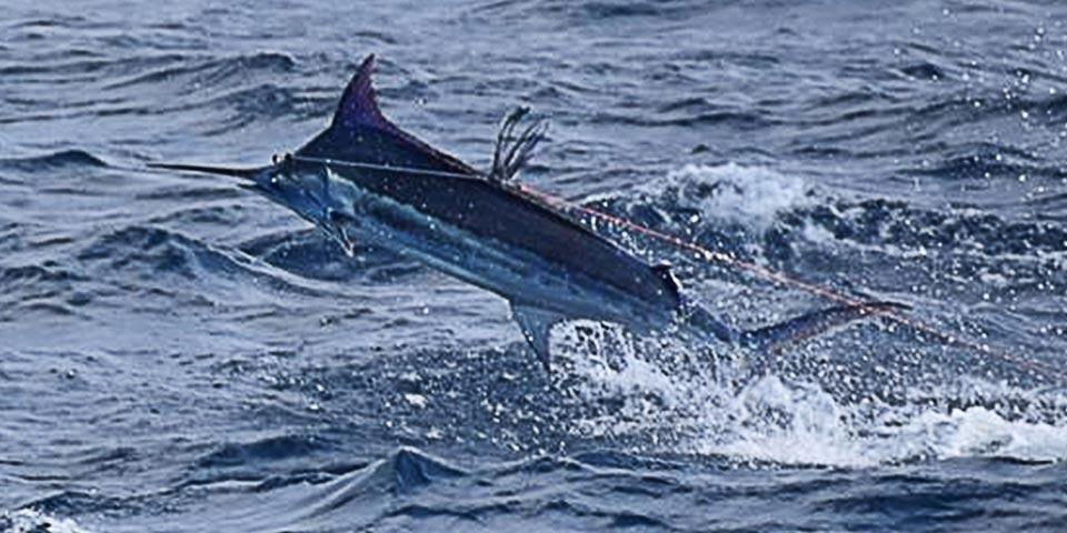 marlin fishing report 20181102 01