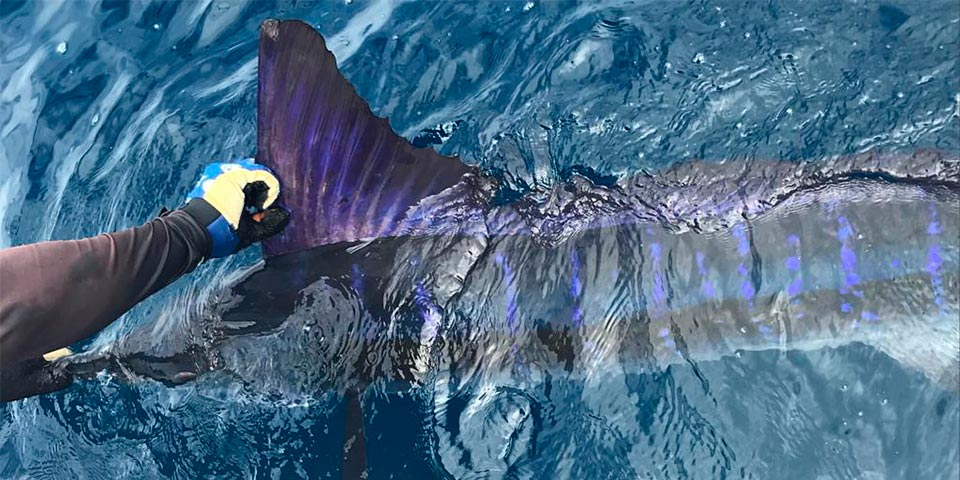 marlin fishing report picture 20190214 00
