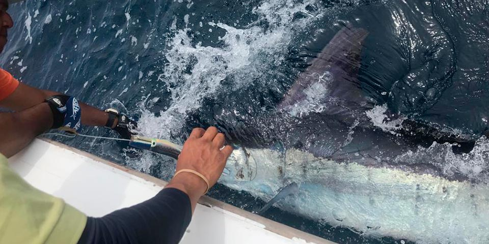 marlin fishing report picture 20190215 01