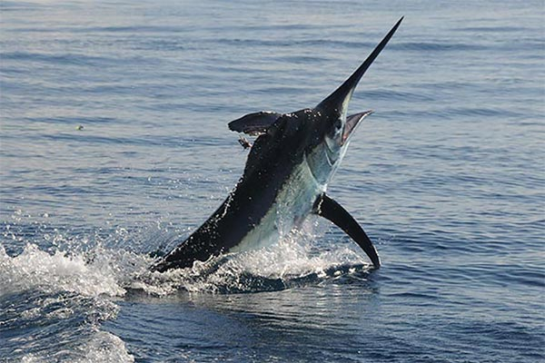 black marlin fishing trip 01