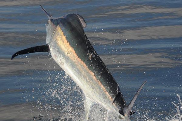 black marlin fishing trip 03