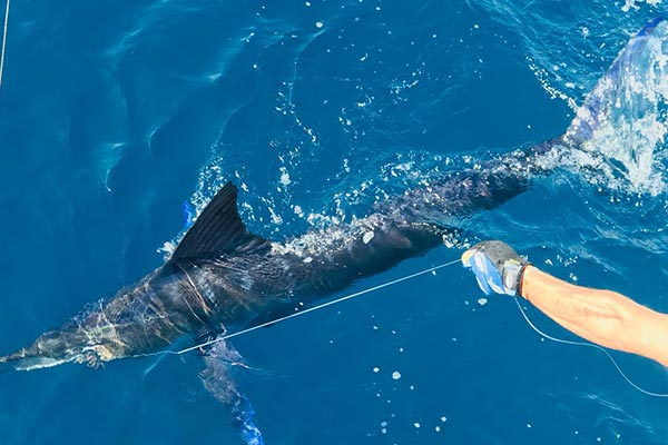 catching a striped marlin 01