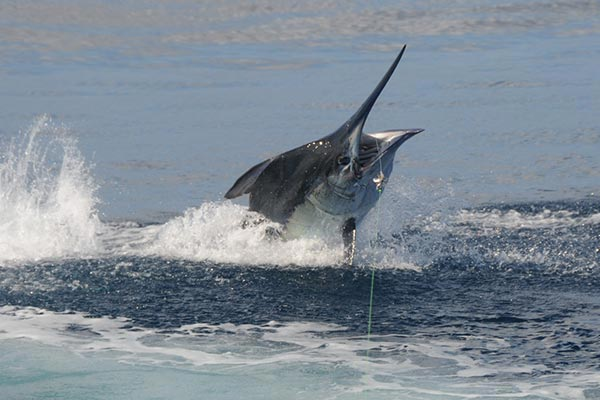 ecuagringo newsletter marlin fishing 201912007 08