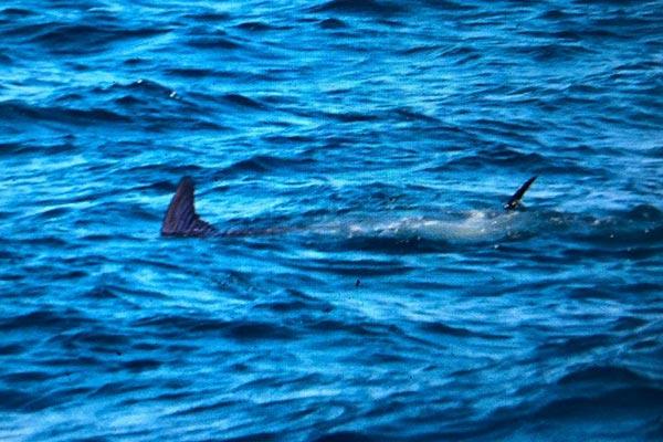ecuagringo marlin fishing report 20200124 02
