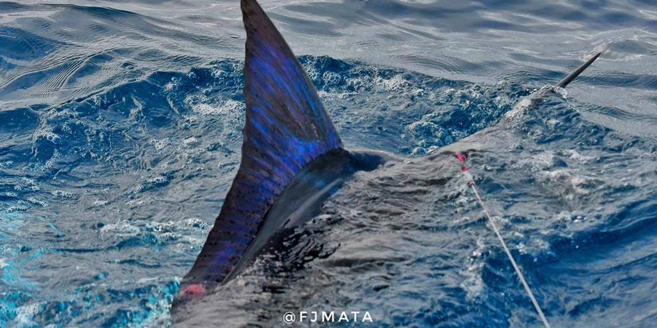 Want to catch multiple marlin same day?