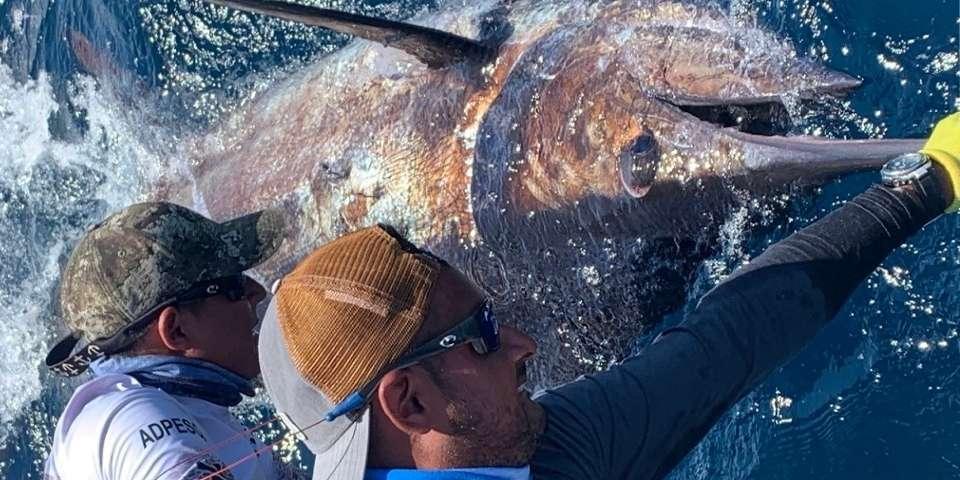 isabela island galapagos giant blue marlin 01