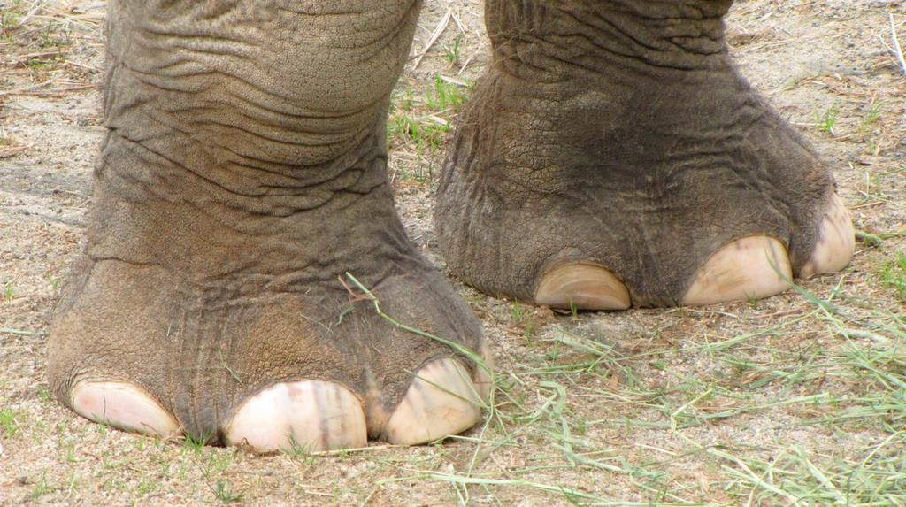 Resultado de imagem para elefante Mbanje