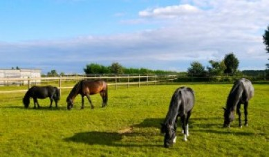 Les poneys profitent du paddock !