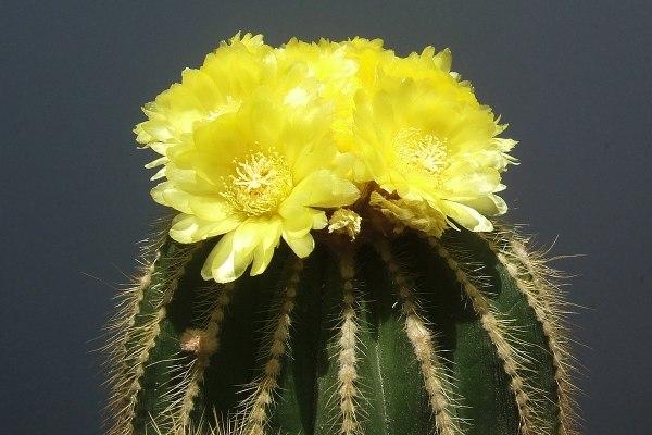 Notocactus wasarii