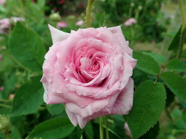 Rose tappezzanti: Berenice