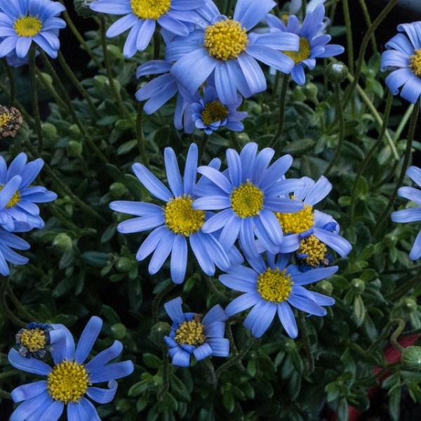 fioritura agatea