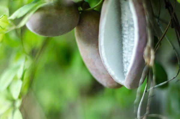 frutto akebia