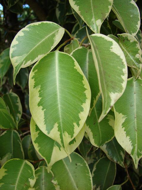 Ficus benjamina con foglie variegate