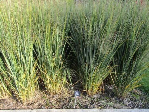 Coltivazione graminacee ornamentali: Panicum virgatum Northwind