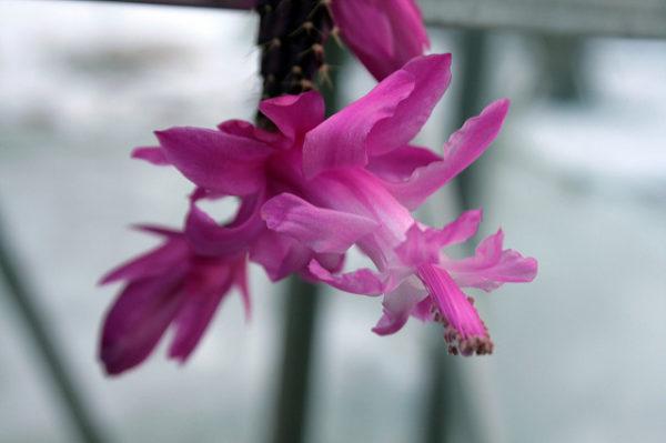 Schlumbergera Opuntioides
