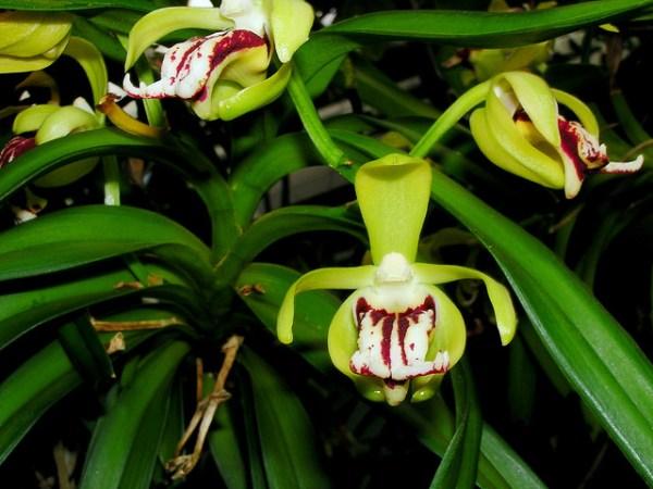 orchidea vanda cristata