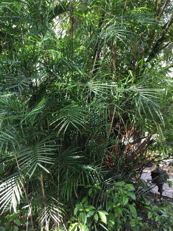 Palma di Bambù - Chamaedorea seifrizii