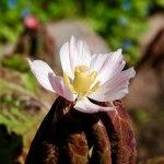 Podophyllum hexandrum ( Sinopodophyllum hexandrum)