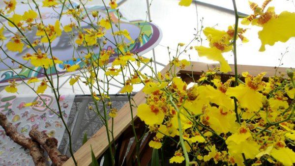 coltivazione Oncisium balcone