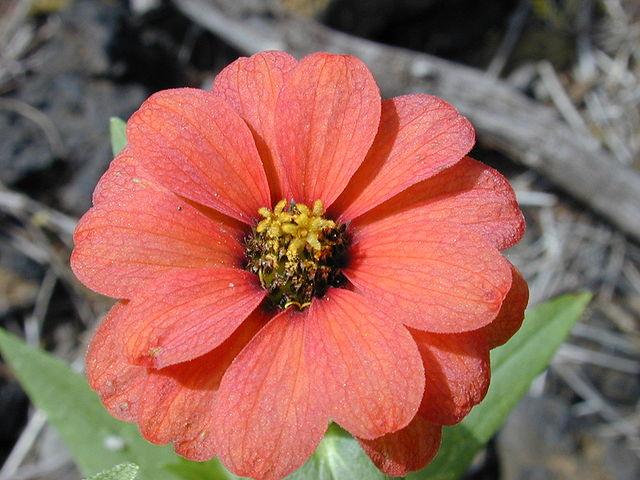 Fiore Rosso Arancio di Zinna Peruviana