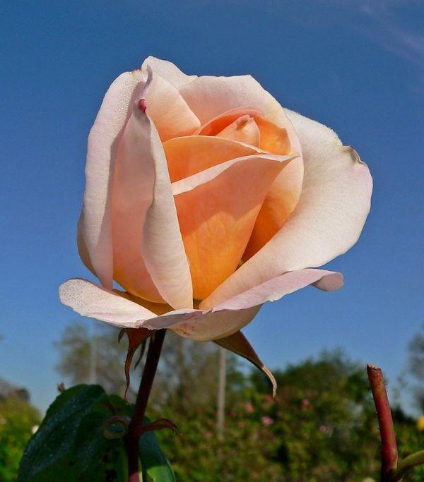 """Rose Ibridi di Tea """"Meilland"""""""