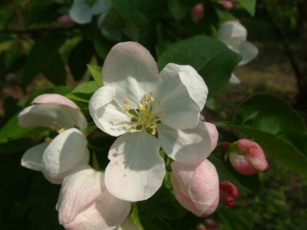 melo ornamentale da fiore malus transitoria