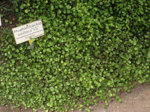 Muehlenbeckia arillari