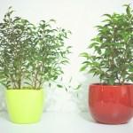 Ficus Benjamina (detto anche Ficus Benjamin o Bengiamino)