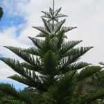 Araucaria heterophylla (Pino di Norfolk)