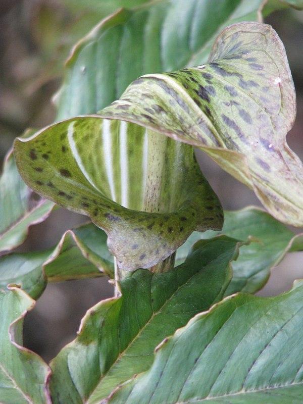 Arisaema nepenthoides