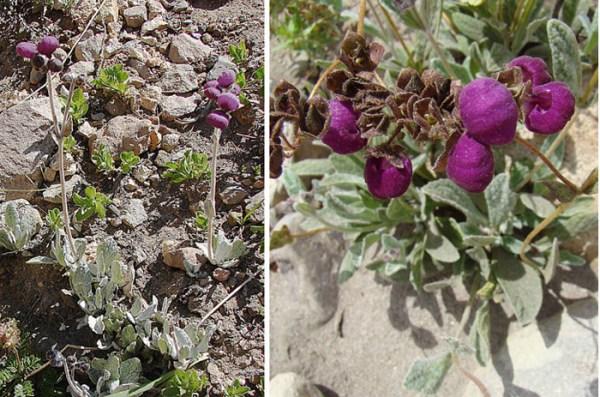 coltivazione calceolaria arachnoidea