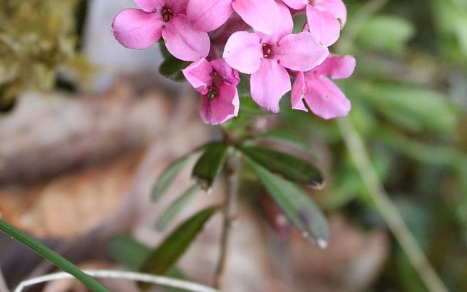 Dafne odorosa (Daphne cneorum)