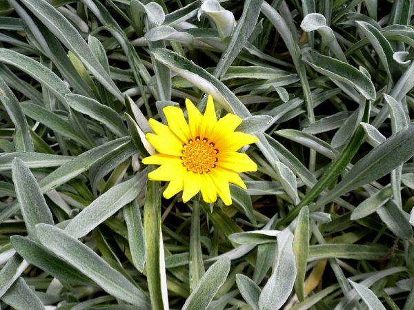 coltivazione gazania uniflora