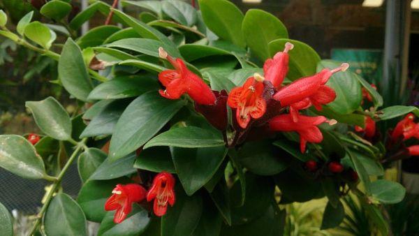 coltivazione aeschynanthus