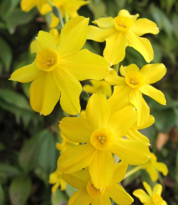 Giunchiglia (Narcissus jonquilla)