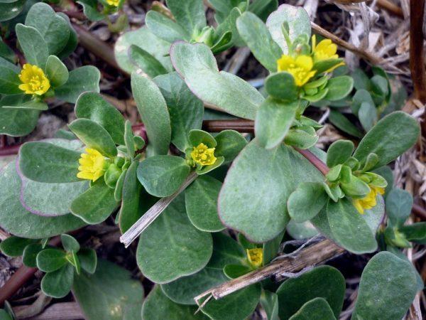 Pianta succulenta Portulaca Oleracea
