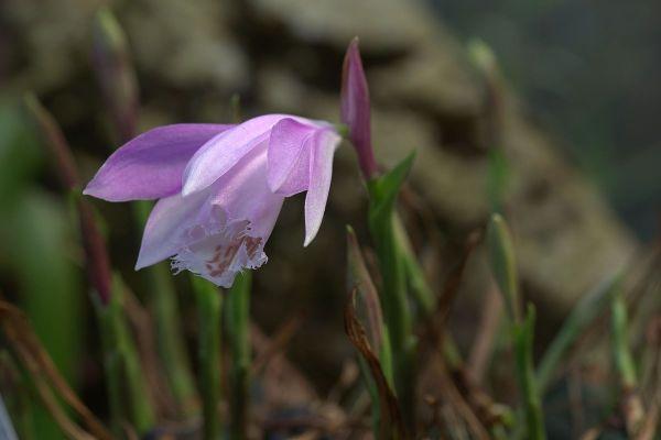 Orchidee Pleione